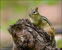 Eastern Chipmunk (2262)