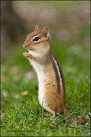 Eastern Chipmunk alert pose