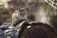 Eastern chipmunk sunning itself