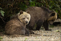 Grizzly cubs resting