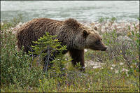 Grizzly Bear travelling through riverside habitat