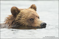 Grizzly Bear glance while swimming