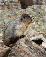 Hoary Marmot perched on rocky debris