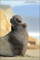 Northern Elephant Seal Roar