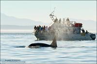 Orca surfacing by whale watching tour