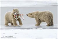 Polar Bear cubs fighting over gull