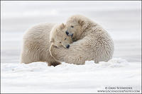 Polar Bear wrestle