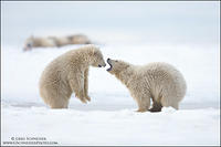 Polar Bear cub face off - sparring