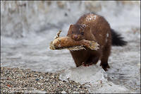 American Mink carrying fish across icy beach