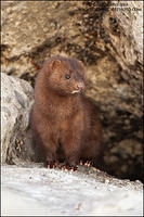 American Mink at den