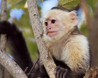 White-Faced Capuchin monkey looking