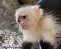 White-Faced Capuchin monkey portrait