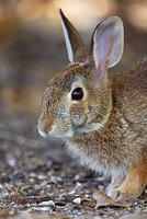Eastern Cottontail Rabbit portrait