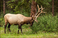Elk browsing on buffaloberry shrubs