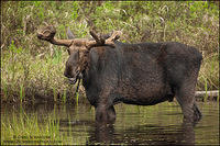 Adult bull moose feeding in a pond