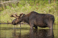 Bull moose feeding in beaver pond, in spring