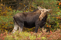 Cow Moose looking back