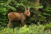 Young Moose calf in northern forest