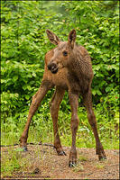 Moose calf standing in the rain