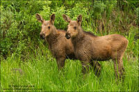 A pair of moose calves standing together