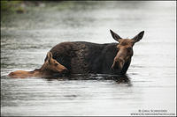 Moose calf and mom in the rain