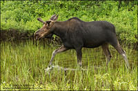 Young male moose walking through water