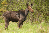 Young female moose in spring