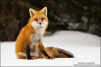 Red Fox Dreamy Stare