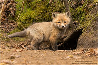 Red Fox kit at den