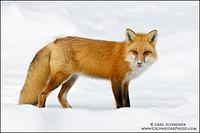 Red Fox licking snow off face
