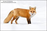 Red Fox (male) in snow