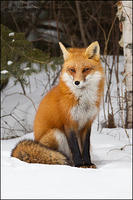 Red Fox in forest habitat